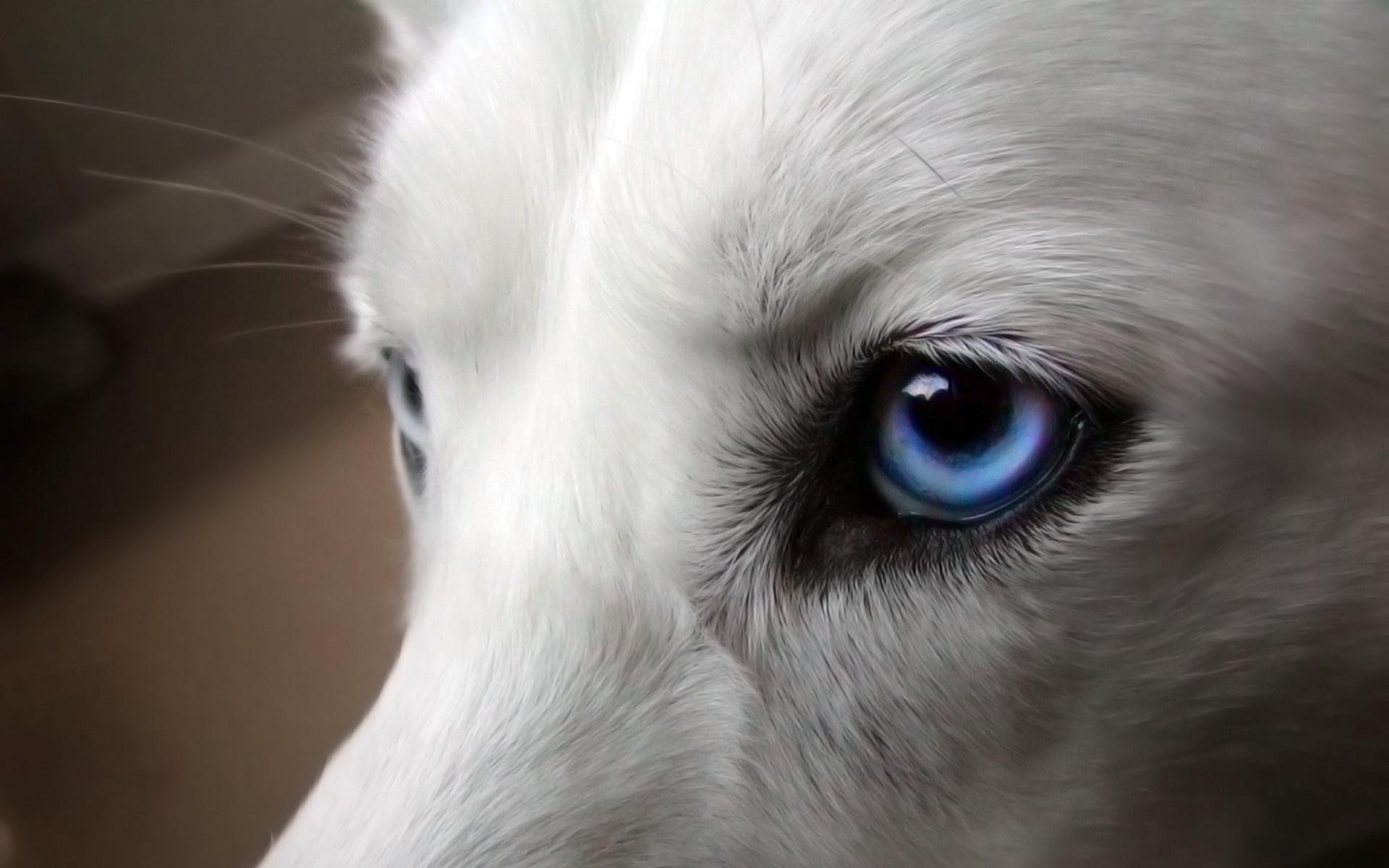 Фото хасок с голубыми глазами