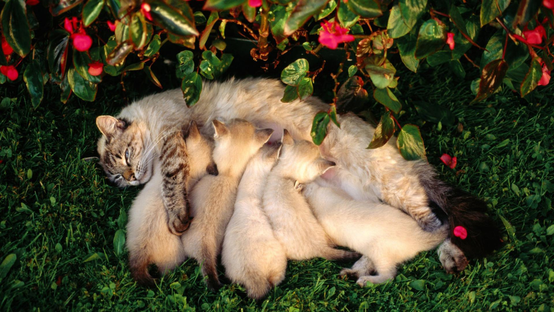 Кормящая кошка с котятами обои для рабочего стола ...