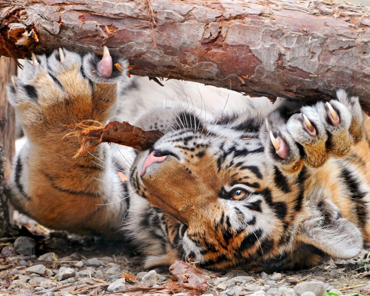 Когти тигра обои для рабочего стола