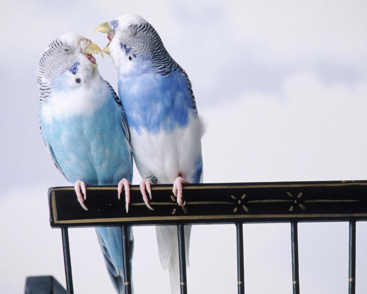 Попугаи голубого цвета обои для
