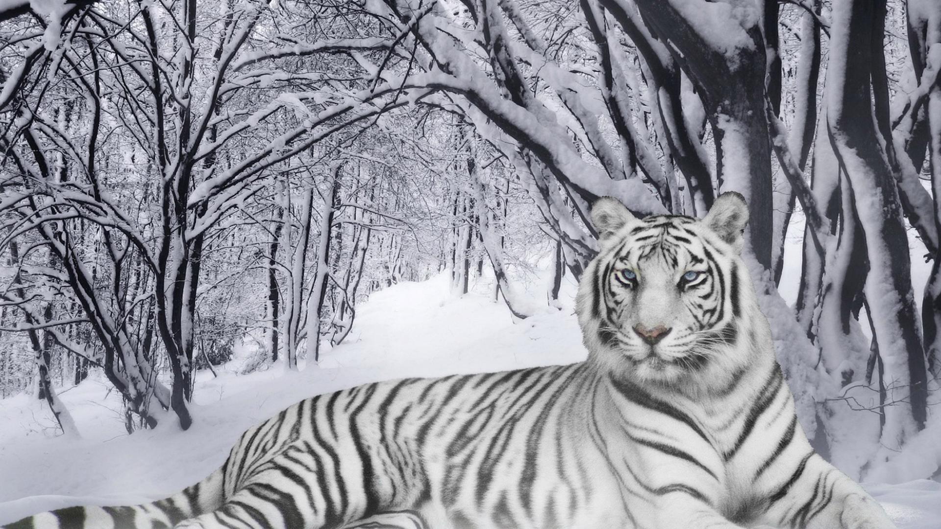 Белый тигр лежит на снегу обои для