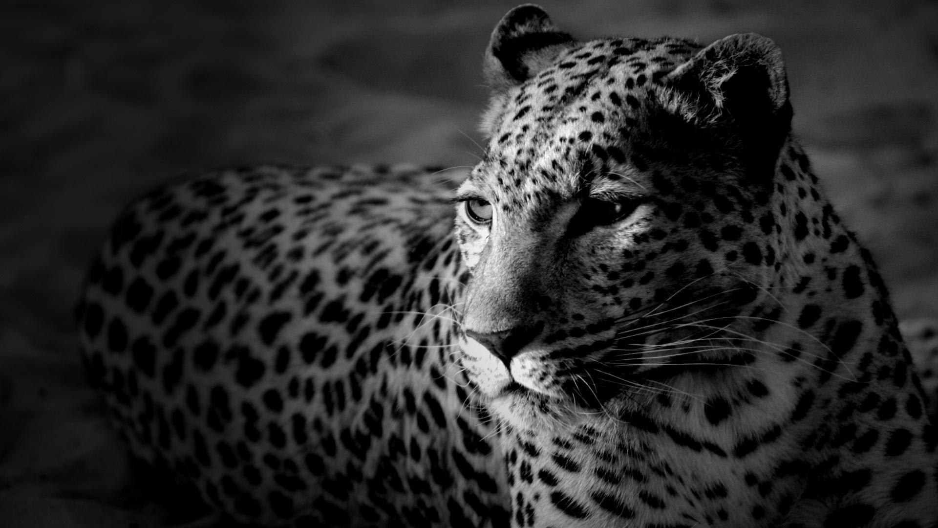 Леопард чёрнобелое обои для рабочего