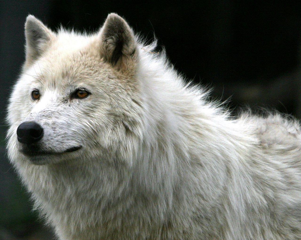 Белый волк обои для рабочего стола
