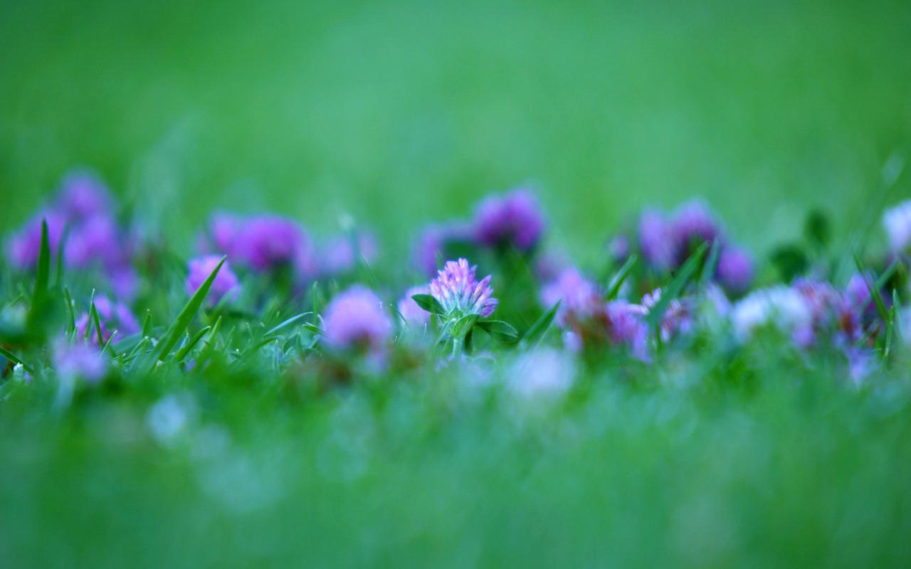 Цветы фиолетовые цветы в траве 1280x800