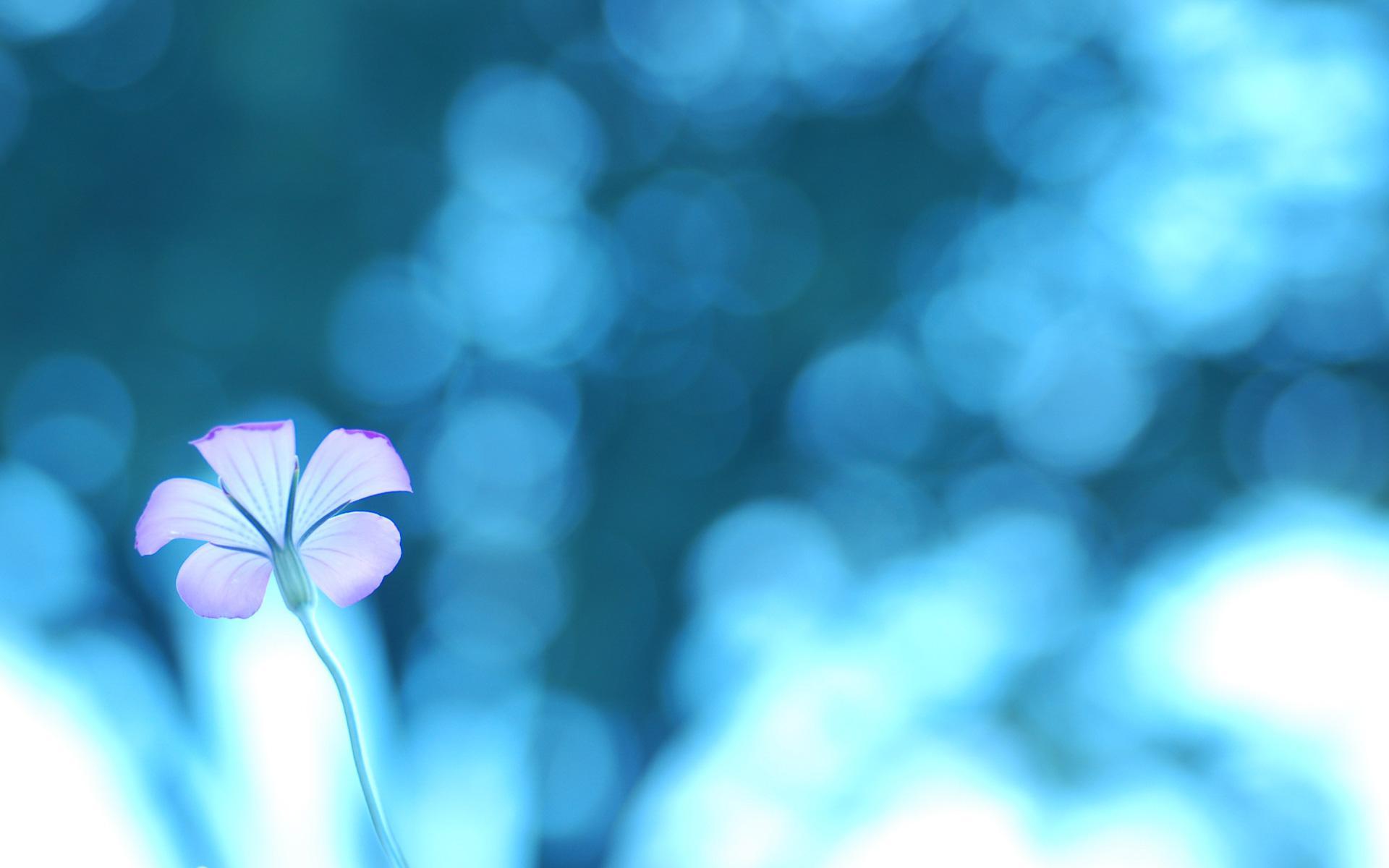 Нежный цветок на голубом фоне обои для