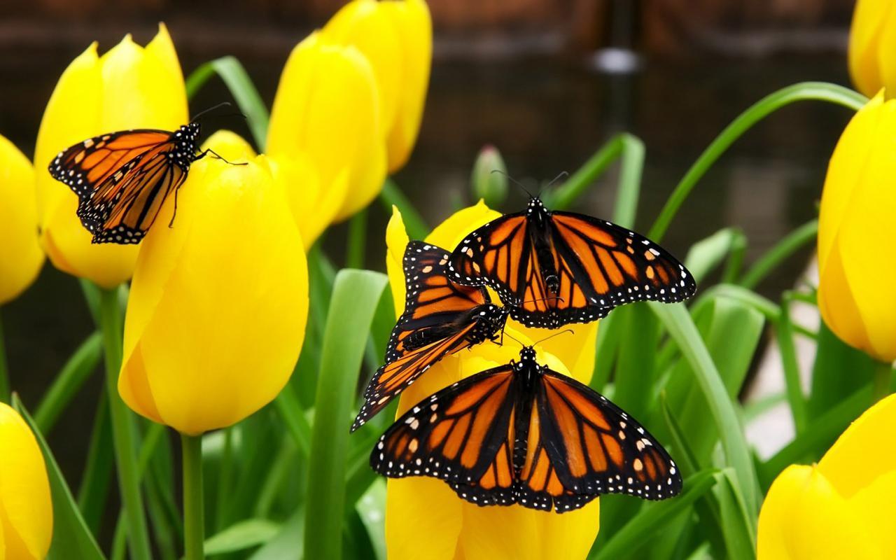 Бабочки на желтых тюльпанах обои для