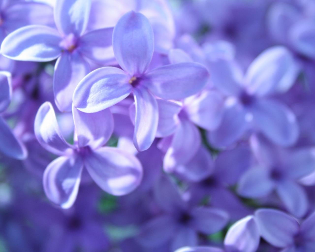 Цветы весна сирень цветы макро 1280x1024