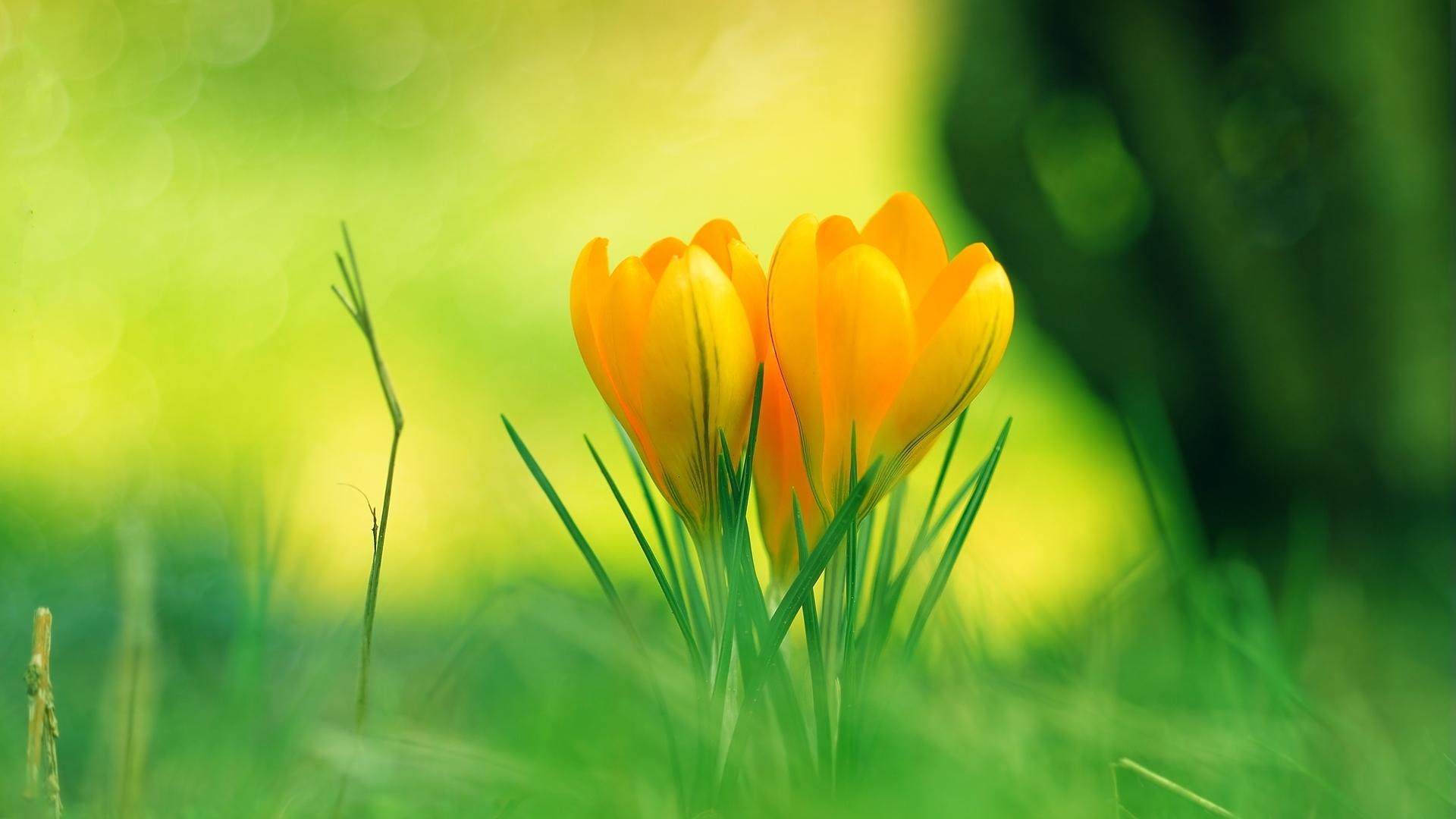 Цветы земля трава крокусы лепестки