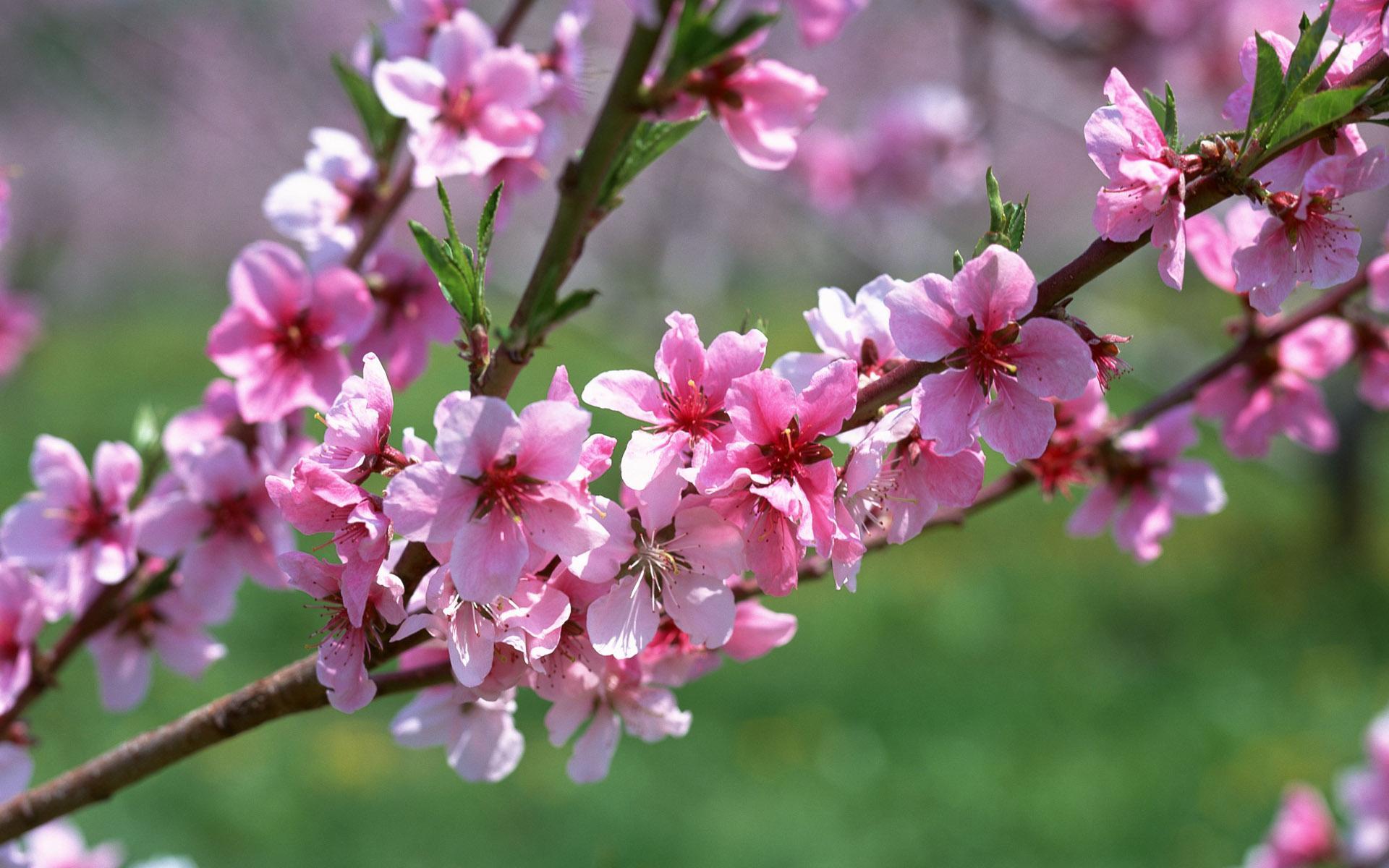Цветы ветка розовый абрикос весна
