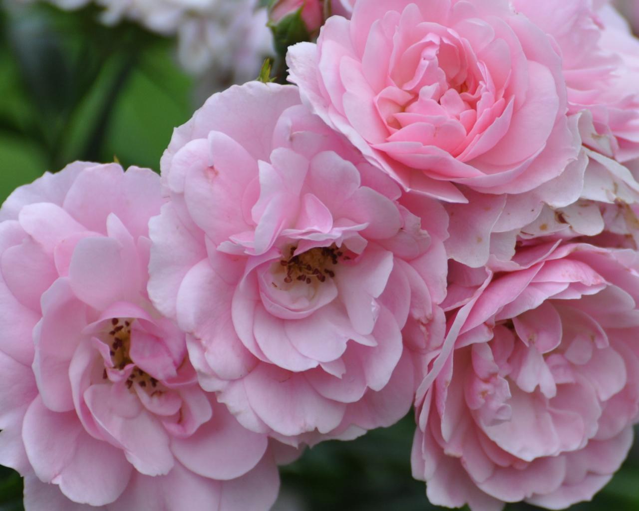 Реклама обои цветы цветы лето пионы