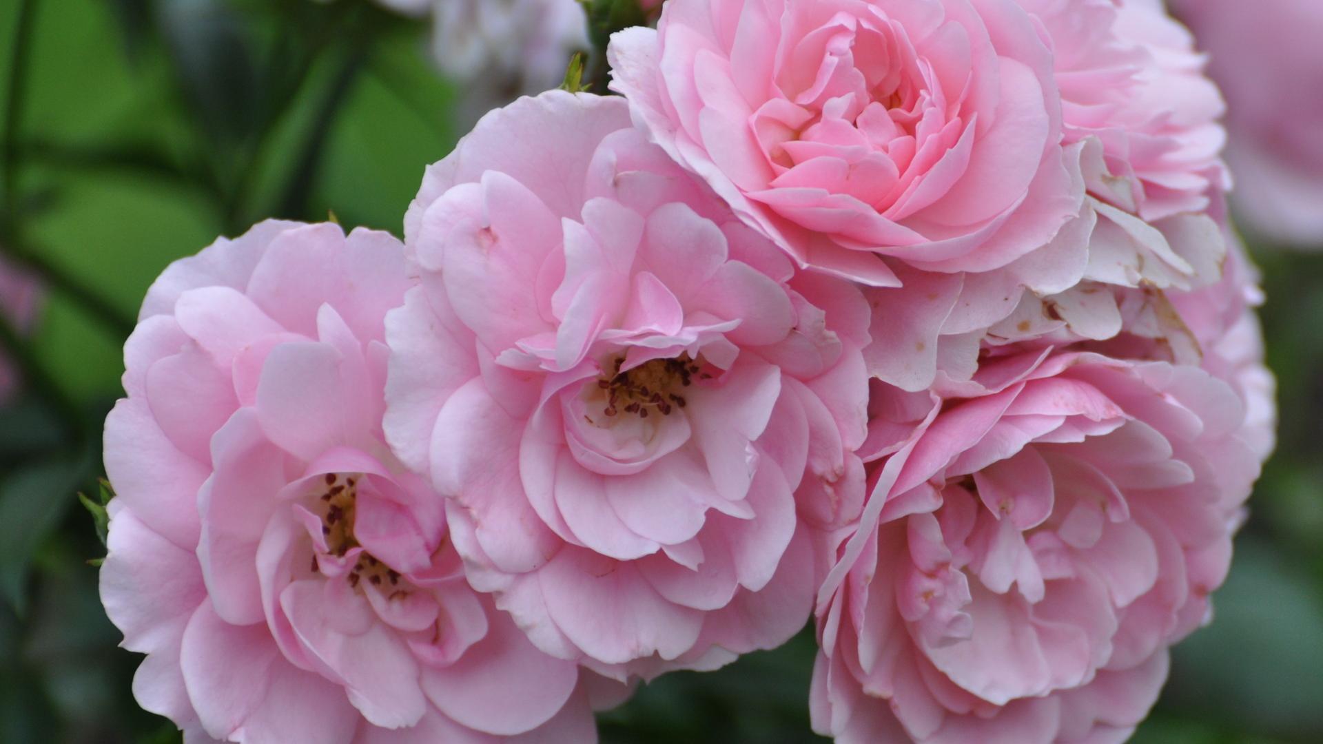 Цветы пионы самые красивые картинки - d8d