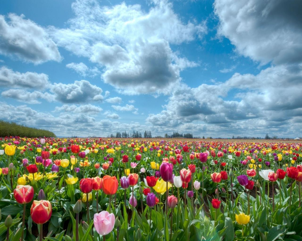 Природа поле небо тюльпаны обои для