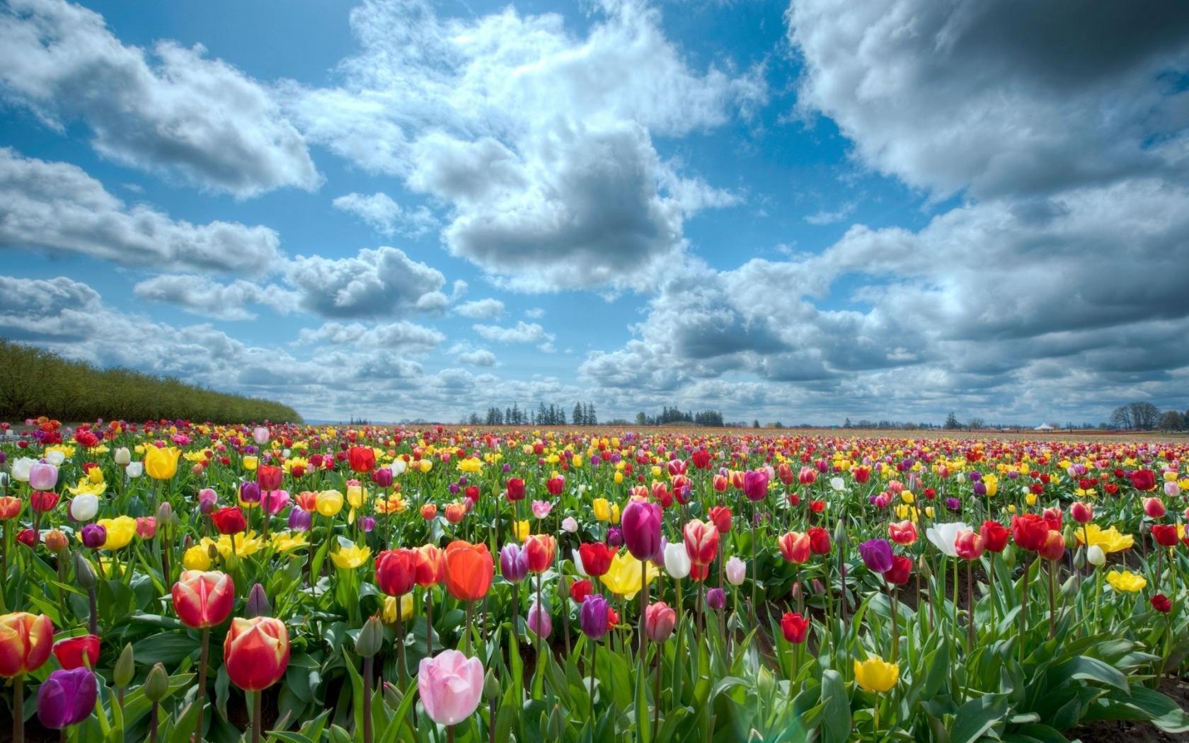 Природа, поле, небо, тюльпаны обои для ...: hq-wallpapers.ru/wallpapers/flowers/pic49408_raz1680x1050