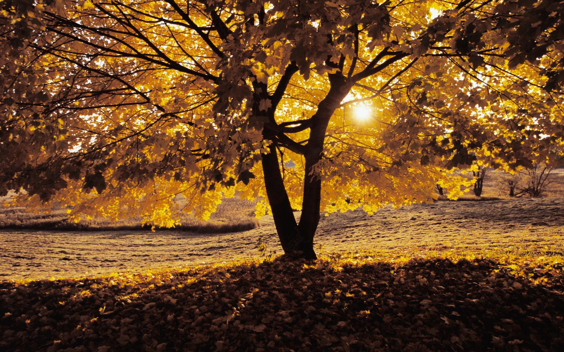 Обои природа природа дерево клен