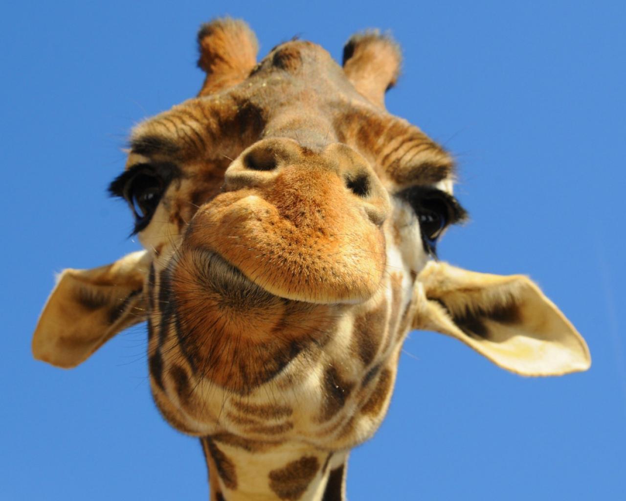 обои на стол жираф