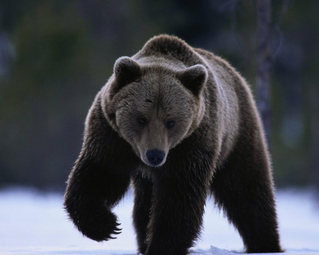 медведи заставка