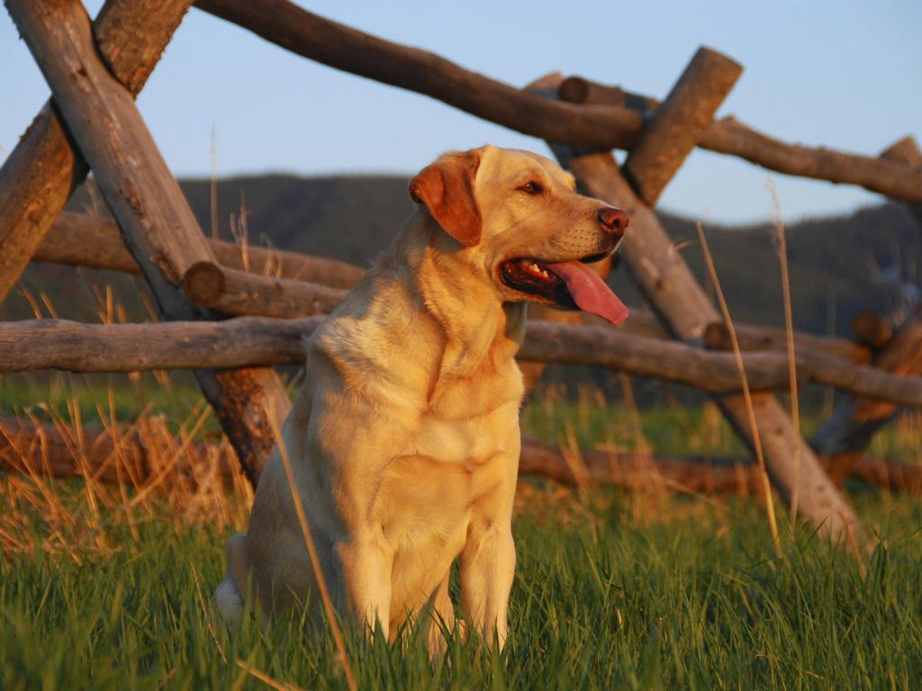 Пес собака поле забор трава взгляд