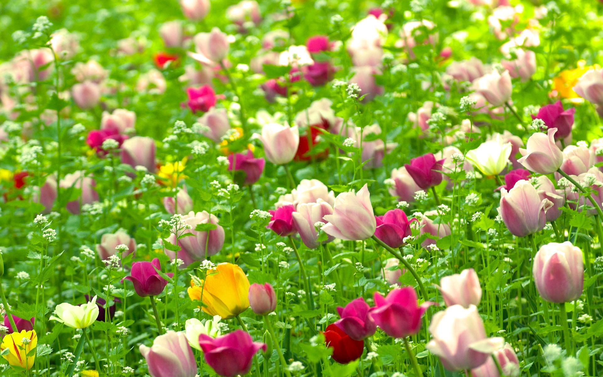 Цветы тюльпаны цветы поле растения