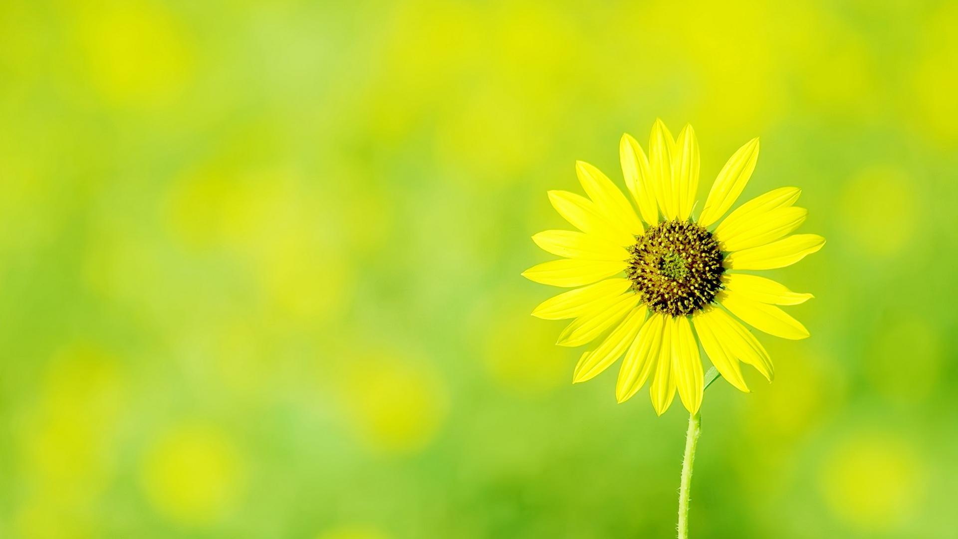 Цветы цветы ромашка желтый цветок