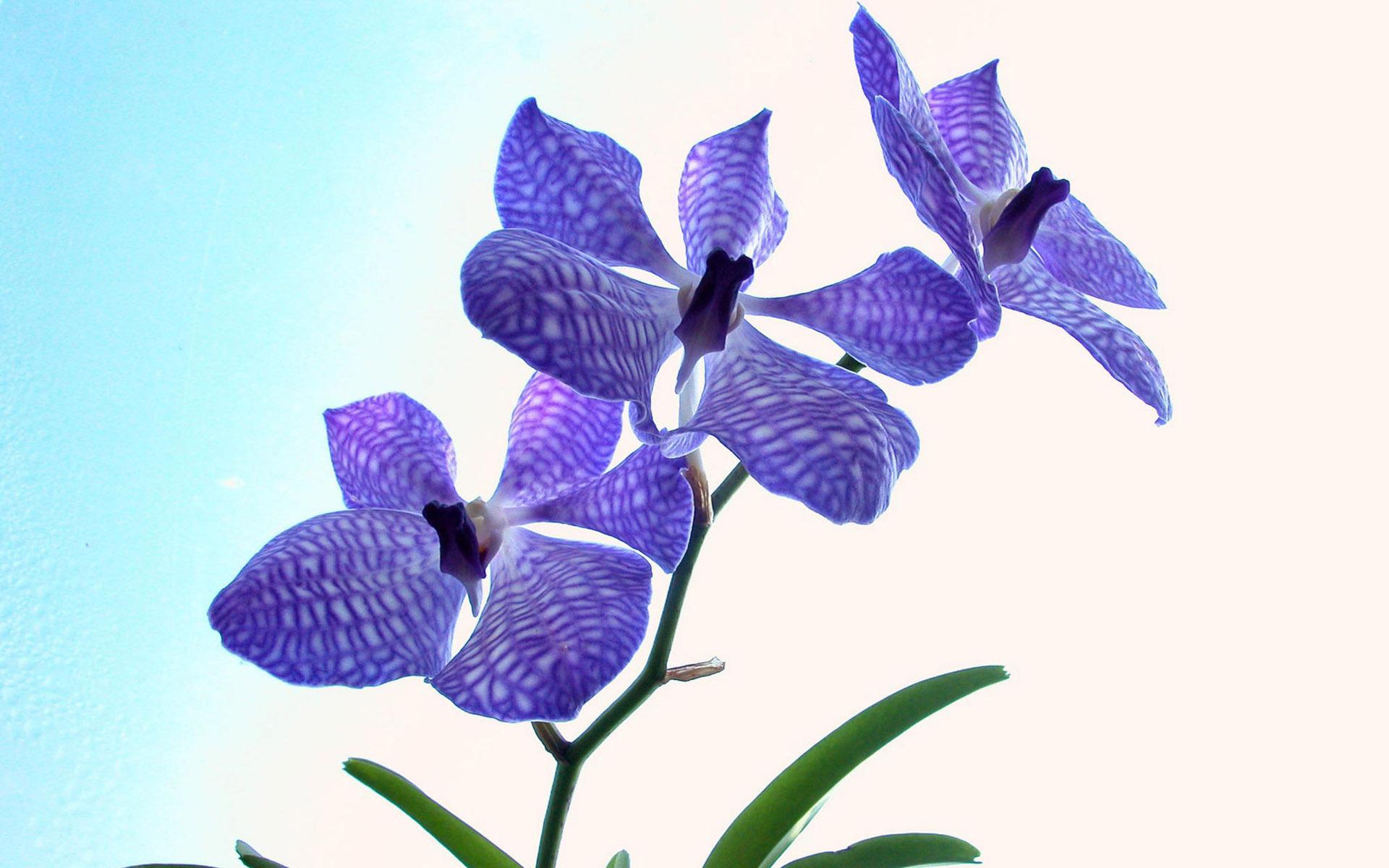 Фиолетовая орхидея обои для рабочего