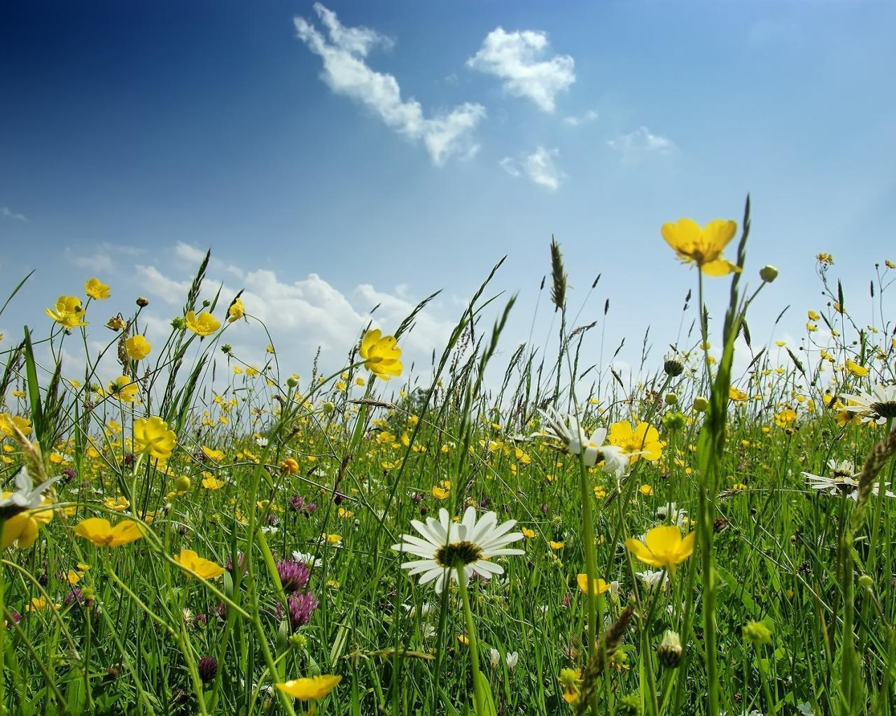 Реклама обои цветы полевые цветы 1280x1024