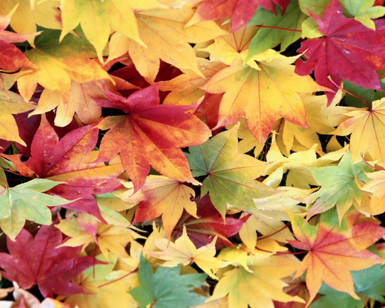 Смотреть цвета клена 23 фотография