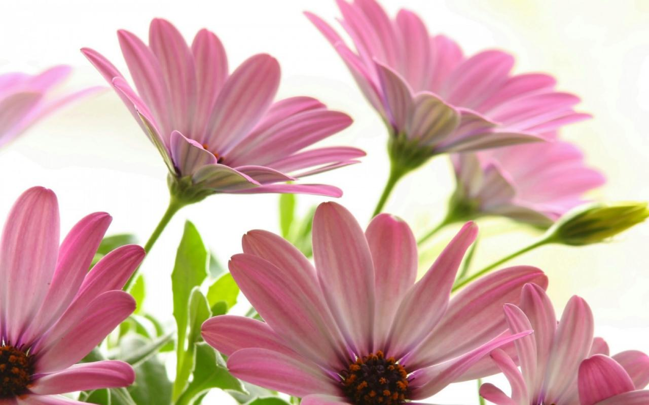Pink Daisies 1280x800