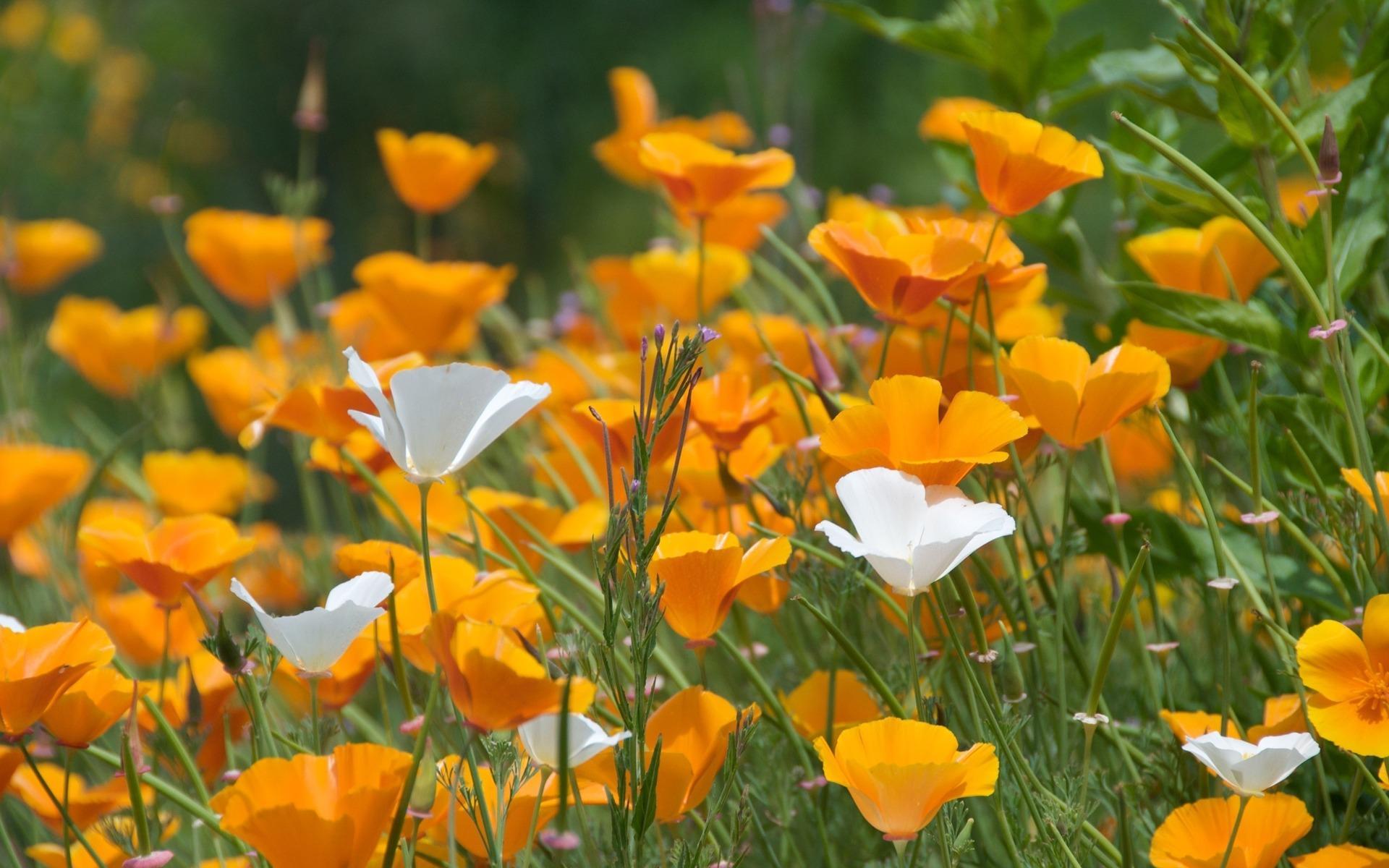 Обои цветы, Эшшольция. Цветы foto 15