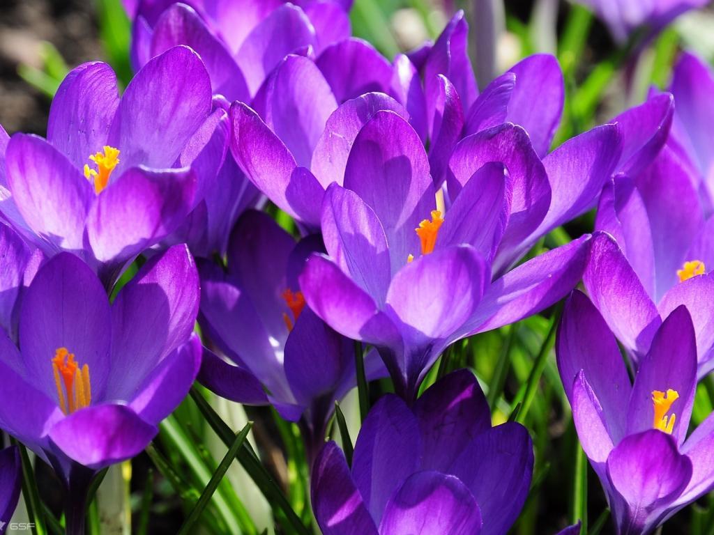 Картинки цветы крокусы 4