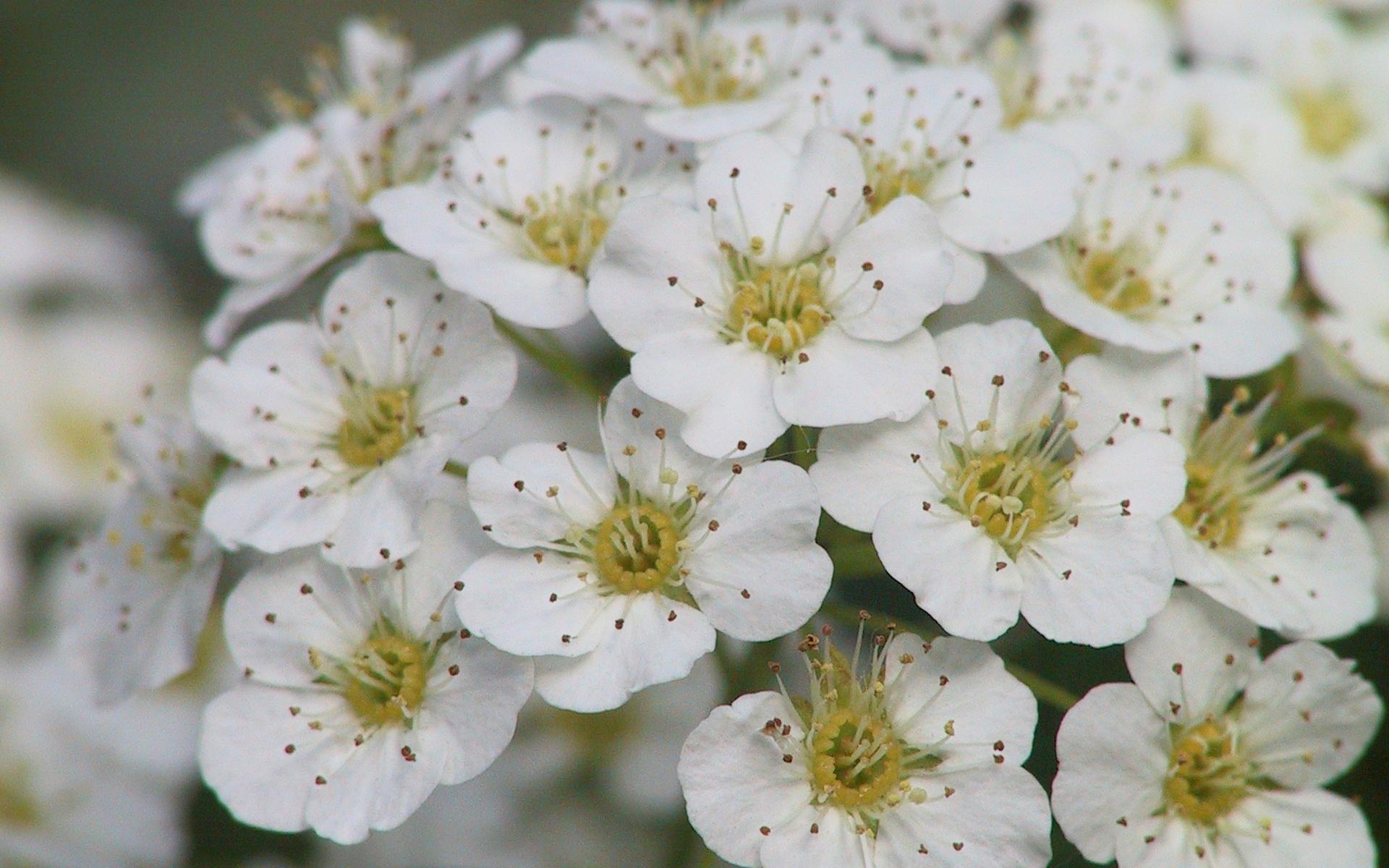Белые цветы яблони обои для рабочего