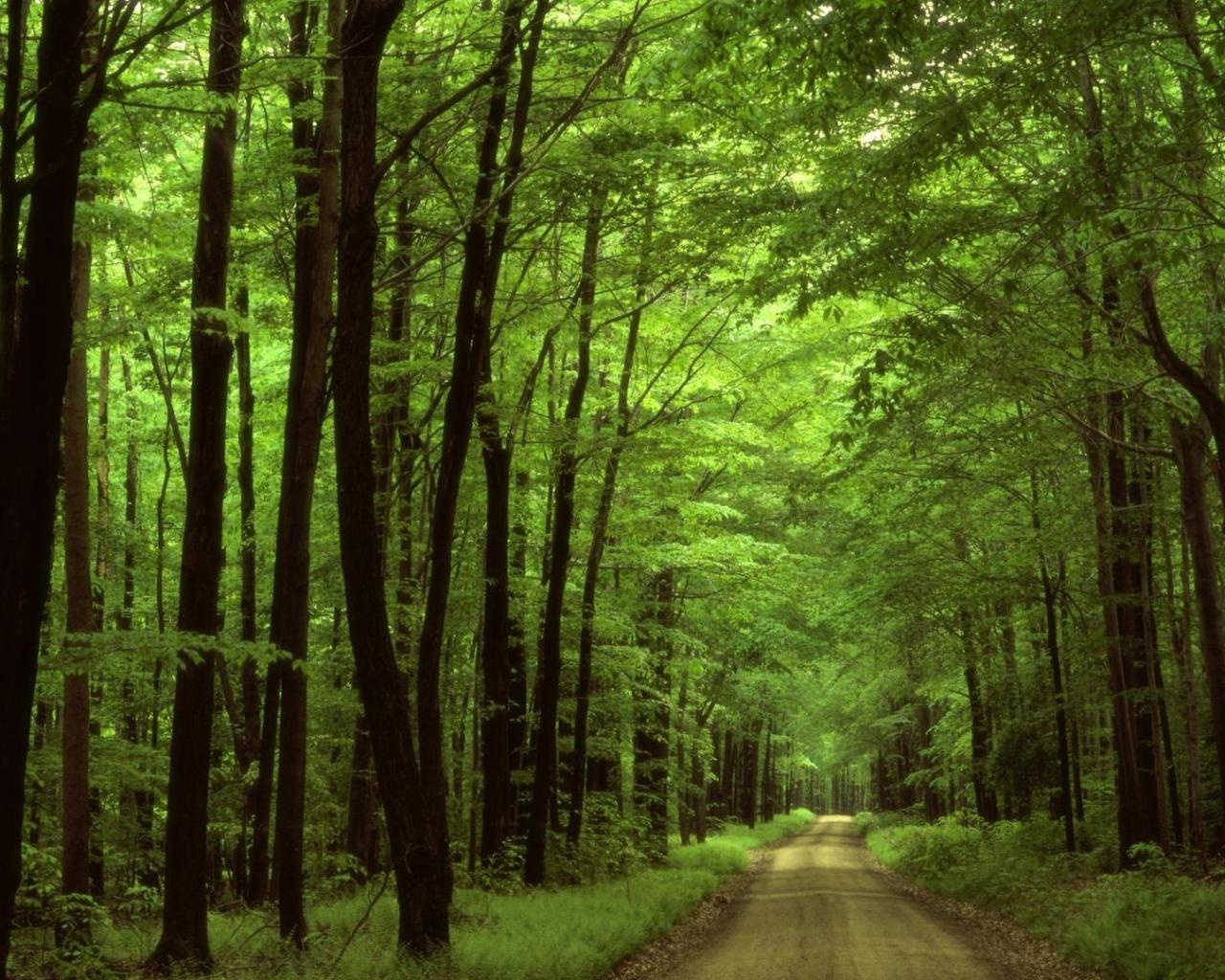 Лес полог зеленый купол дорога обои