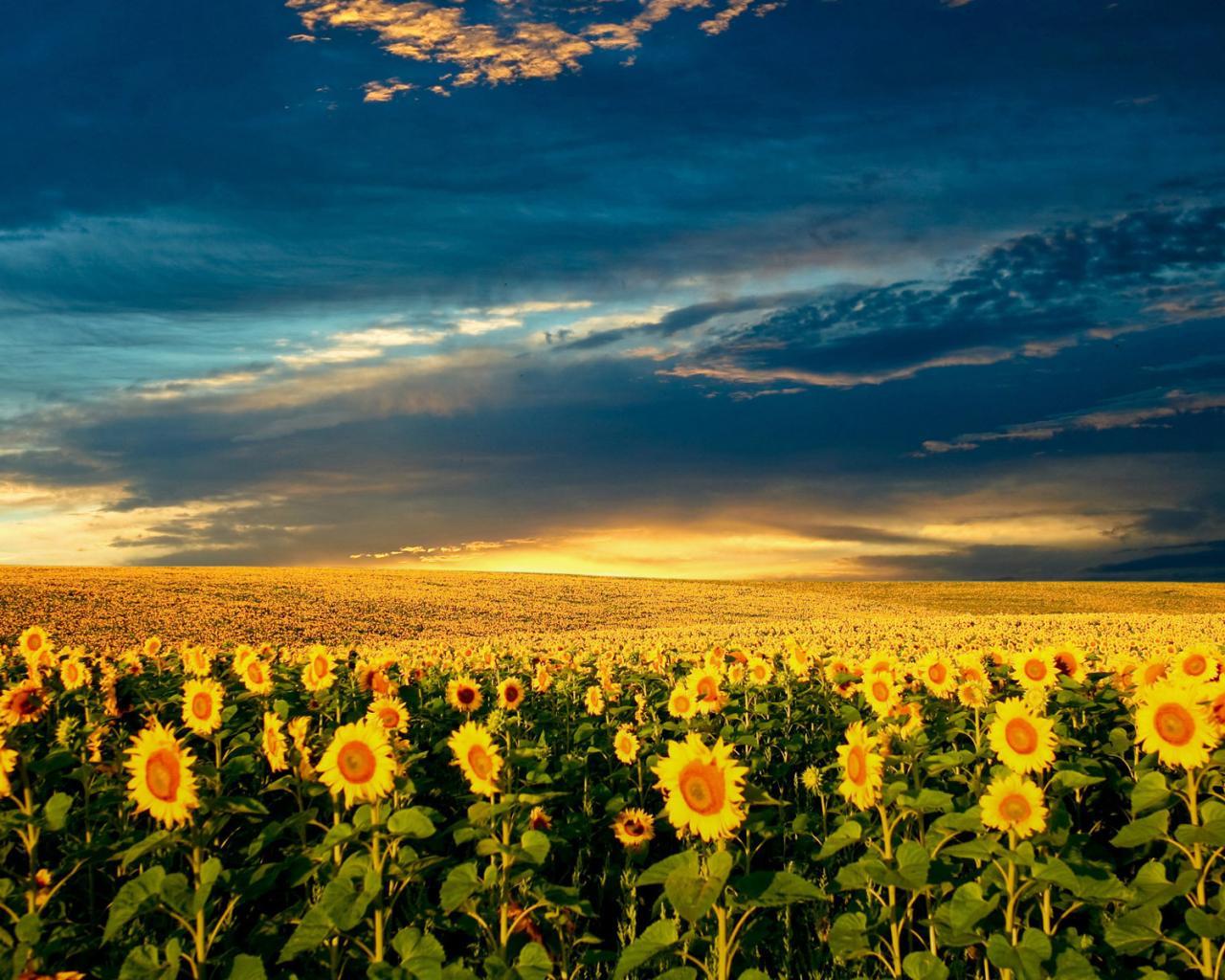 Подсолнух солнце лето природа обои
