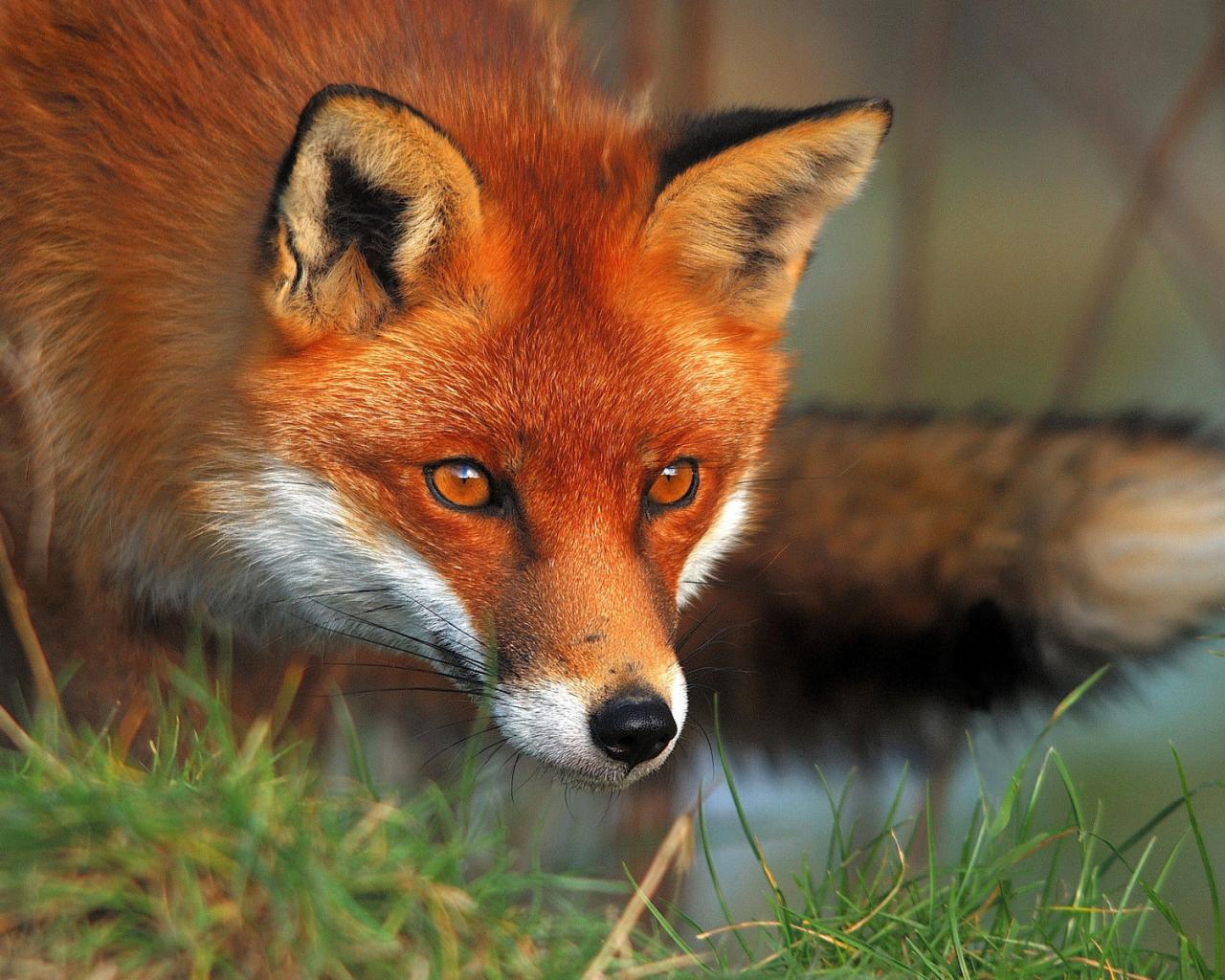 Животные животные лиса смотрит 1280x1024