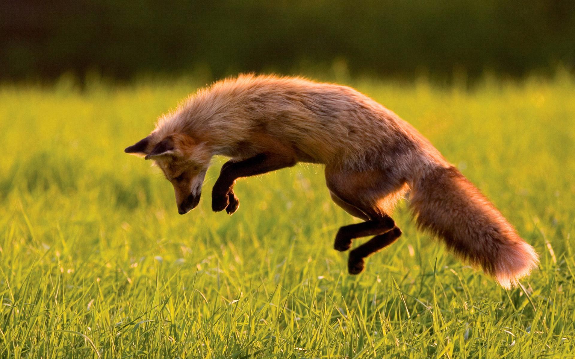 Лиса лисица охота прыжок обои для
