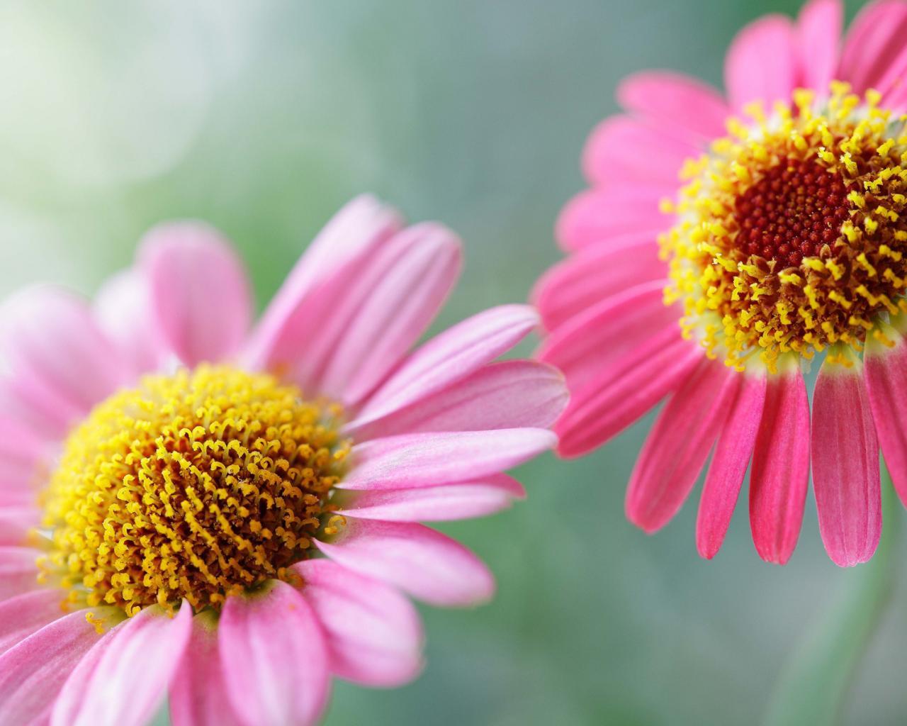 Цветок разноцветные цветки