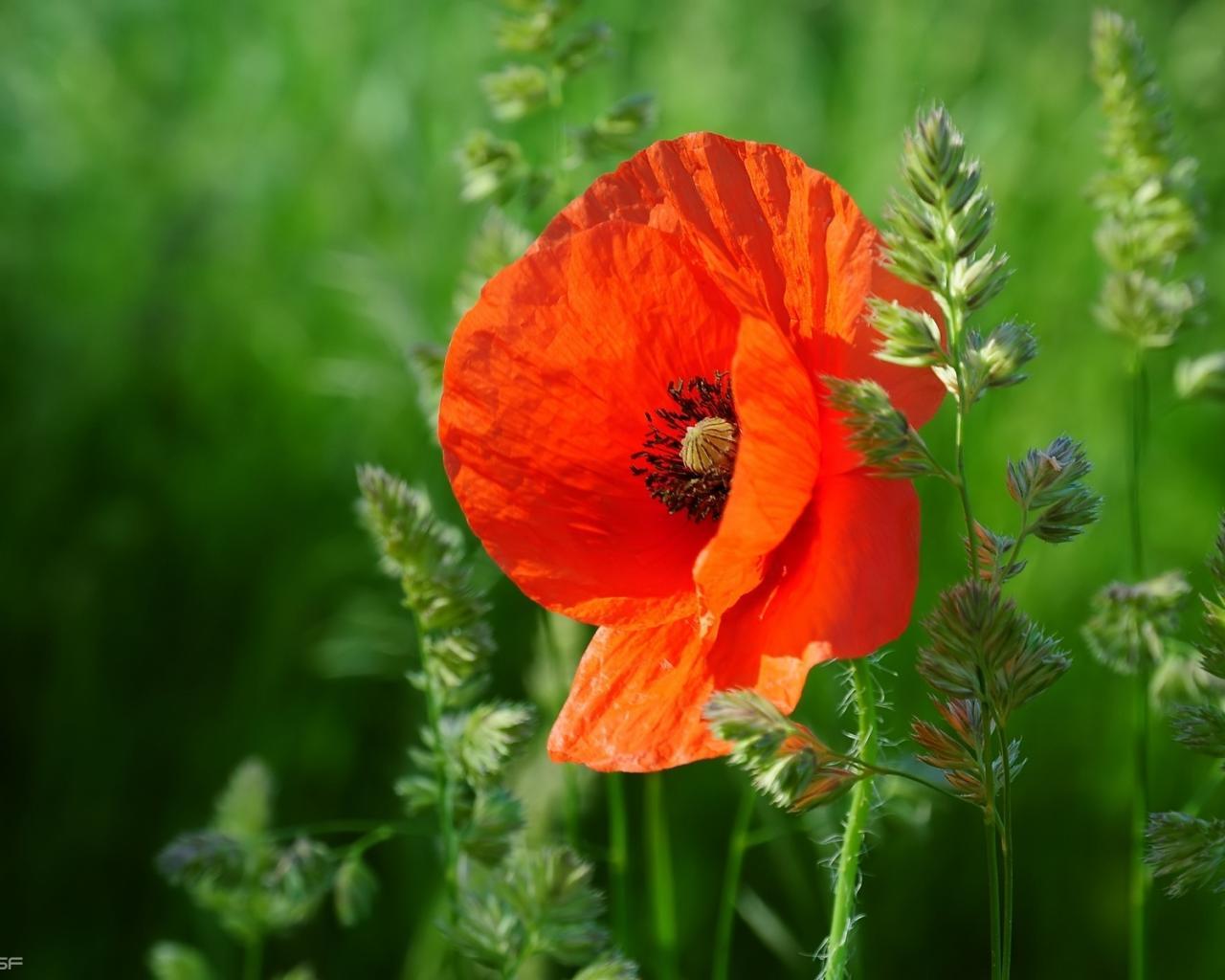 Цветы мак цветы природа трава 1280x1024