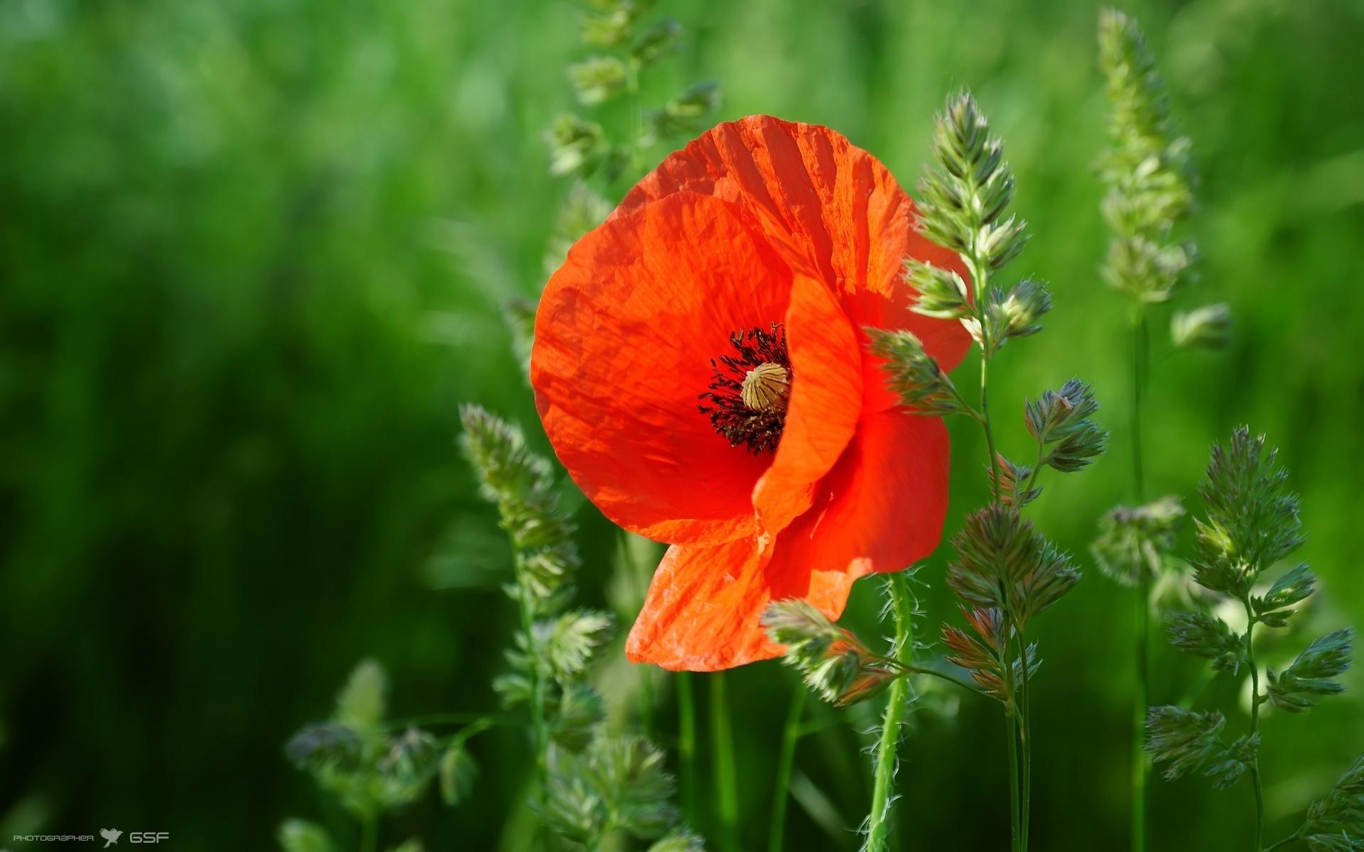 Цветы мак цветы природа трава 1920x1200