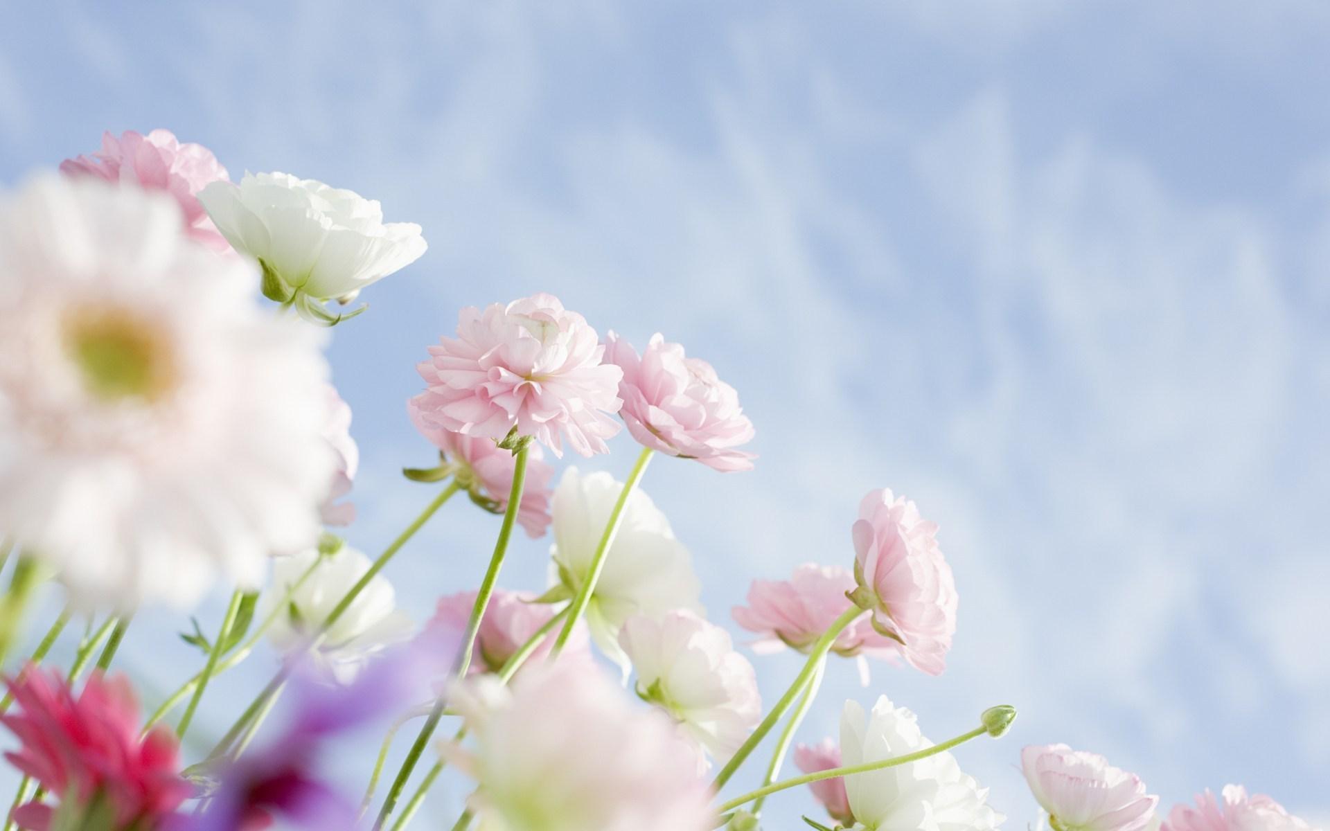 Цветы цветы белые розовые весна небо