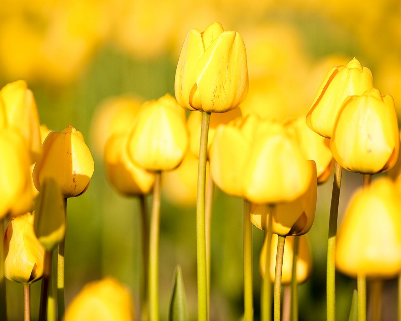 Цветы природа тюльпаны сад огород