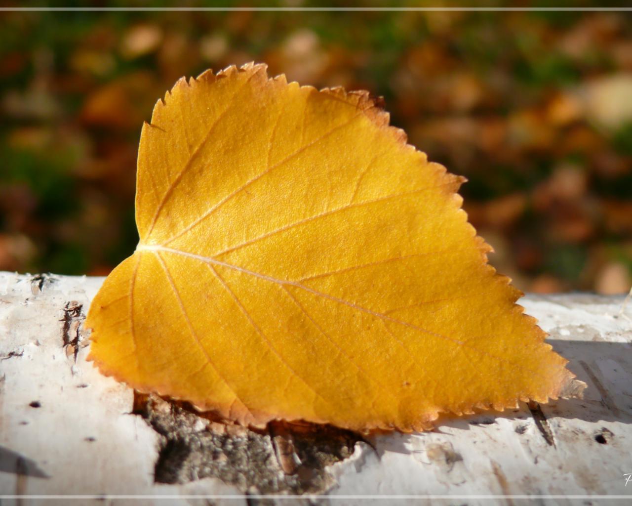 Желтые березы осенью картинки