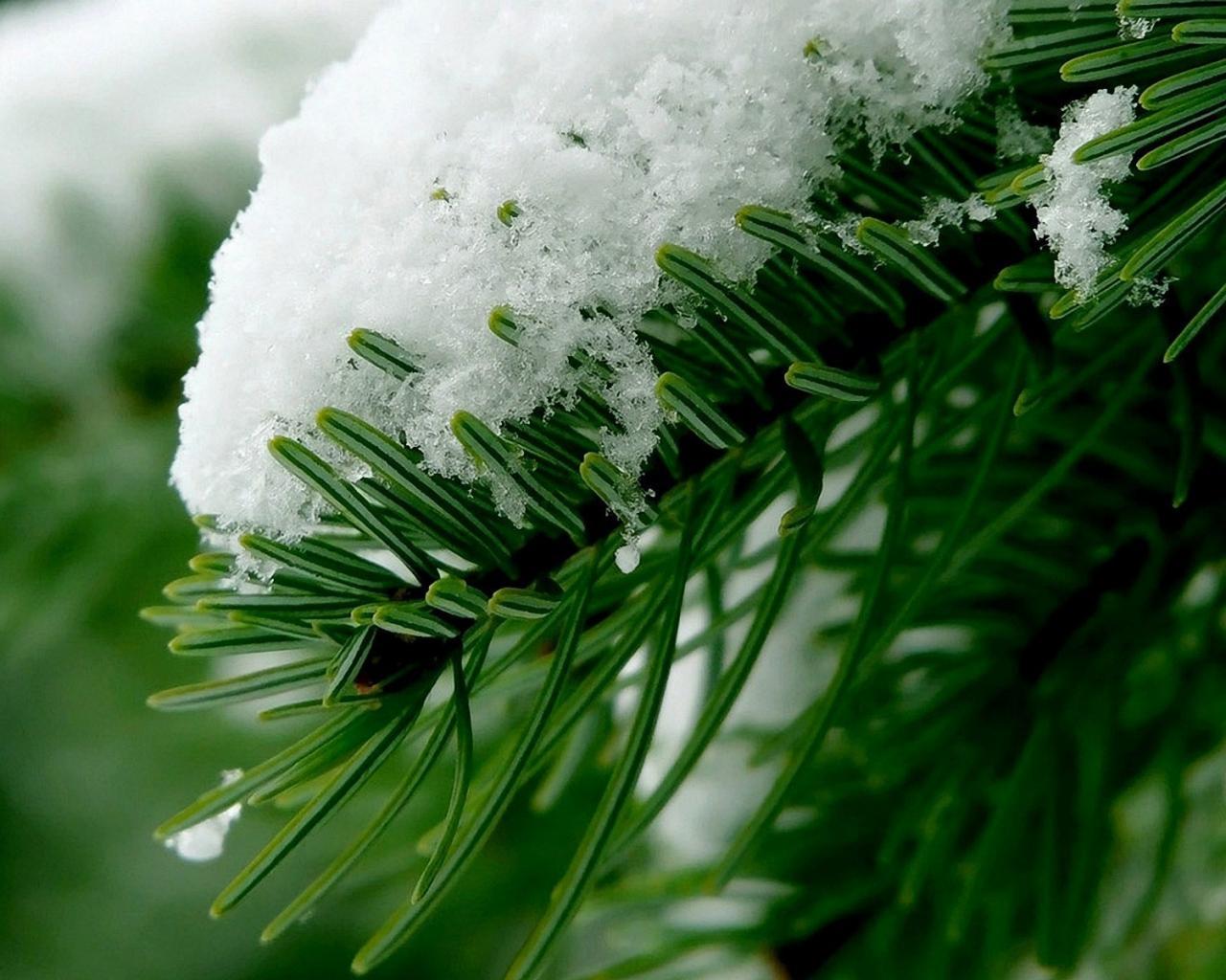 Первый снег на иголках ёлки обои для
