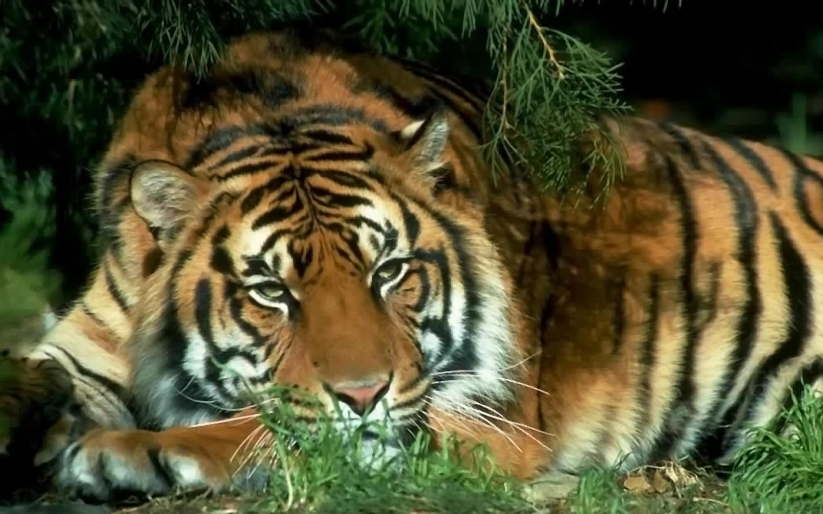 ᐈ тигра: фотография и рисунок морда тигра, скачать картинки на.