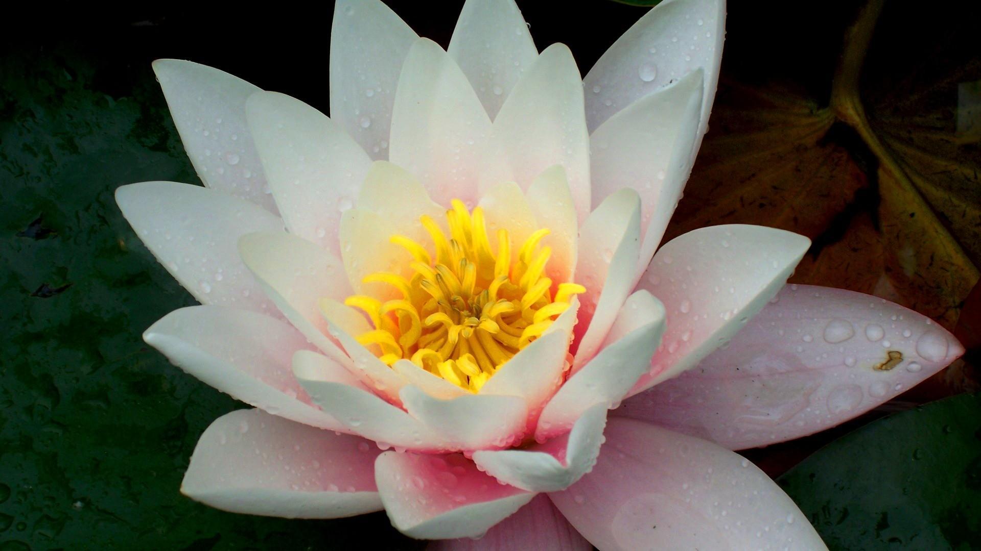 Лилия цветок макро красота обои для