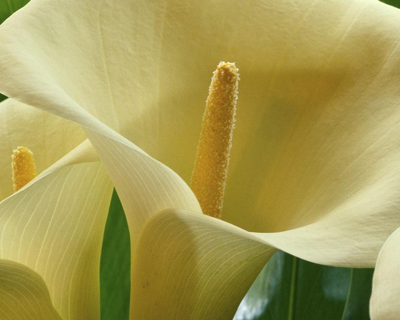 Большие белые калы красивые цветы на