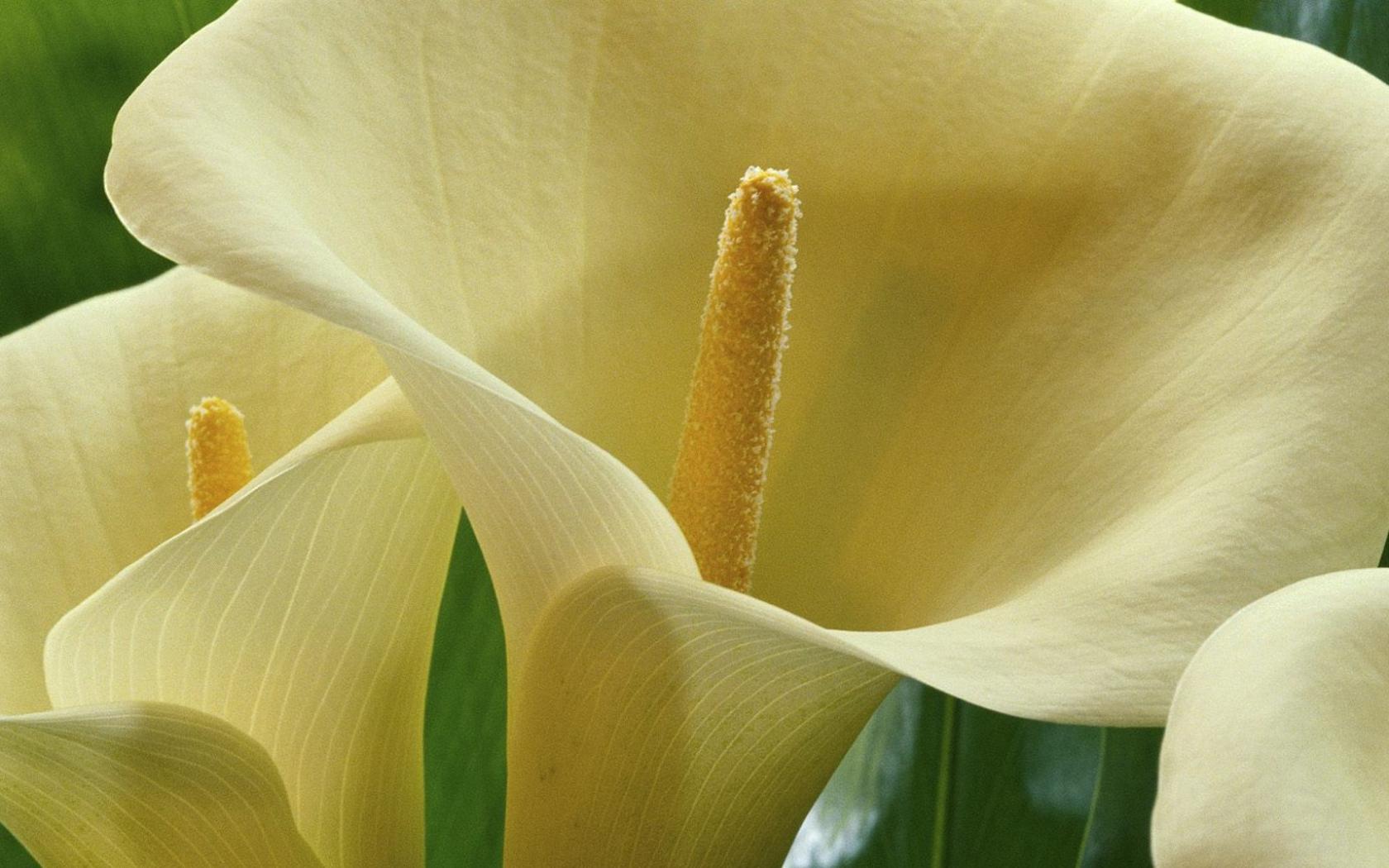Большие белые калы - красивые цветы на ...: hq-wallpapers.ru/wallpapers/nature/pic67203_raz1680x1050