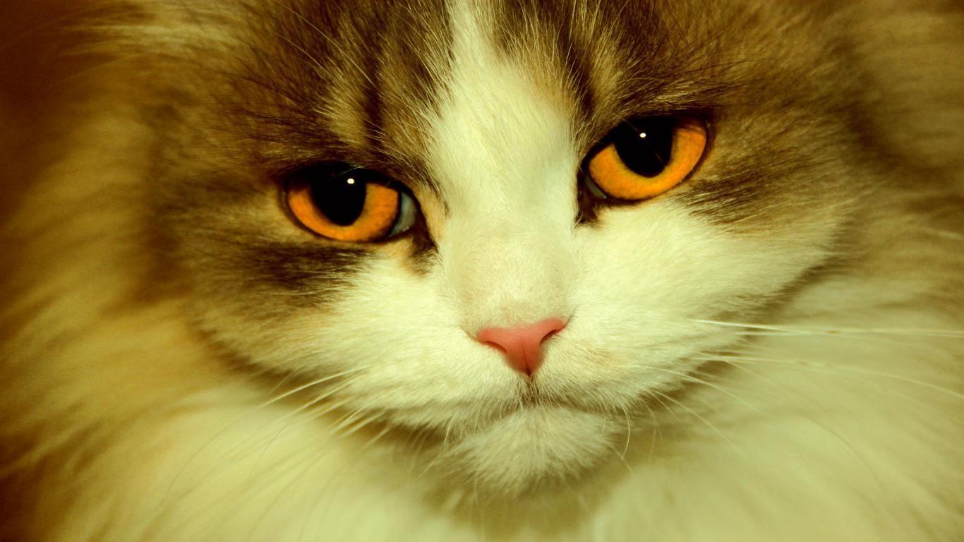 Оранжевые глаза кота крупным планом