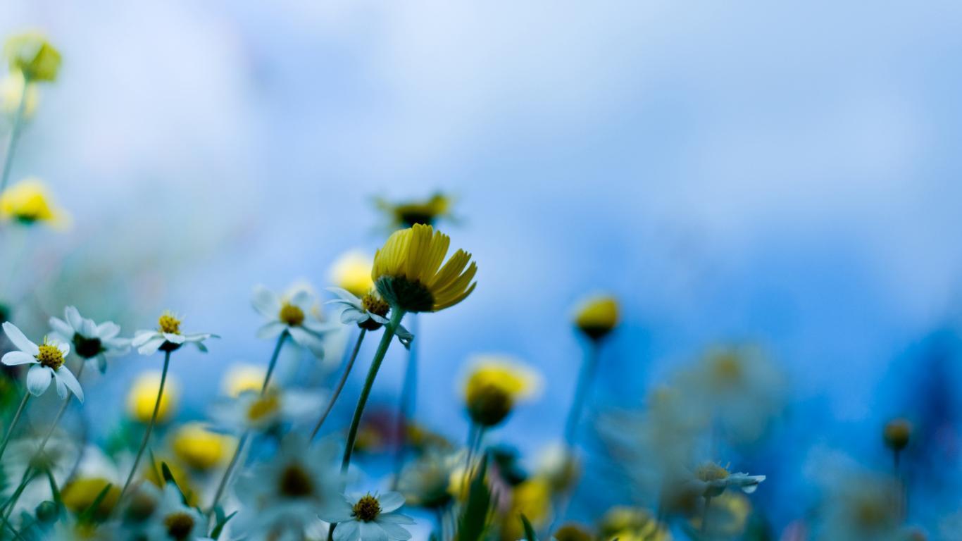 Реклама обои цветы луговые цветы