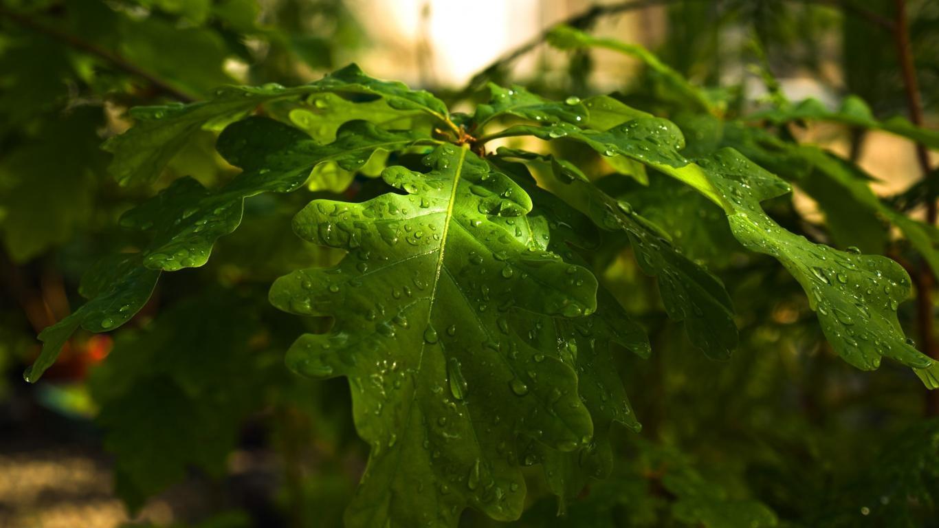 Сочные мокрые листья дуба обои для