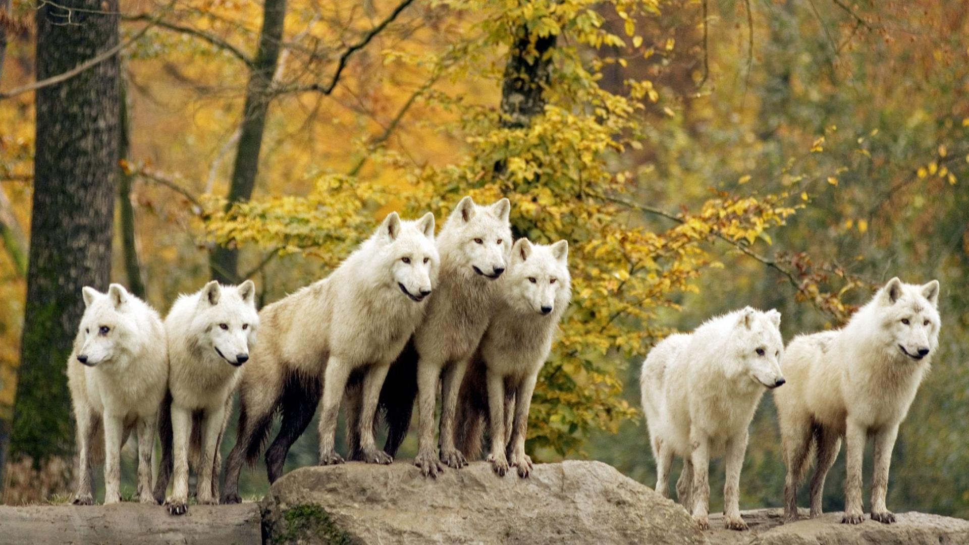 ...белых волков, заставки на рабочий стол и прикольные