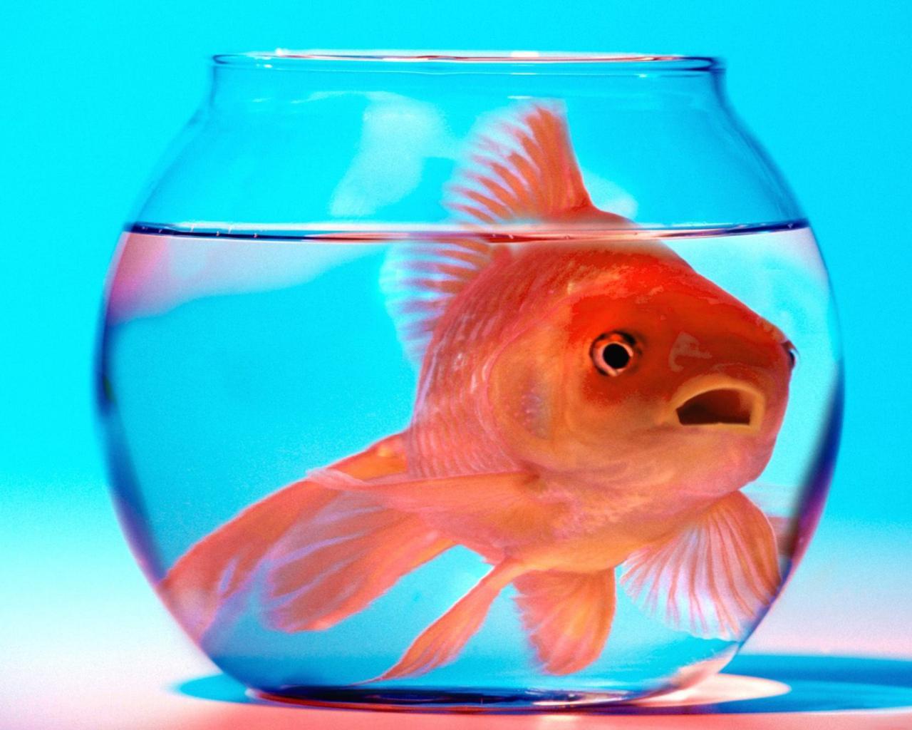 Золотая рыбка в аквариуме обои для рабочего стола ...